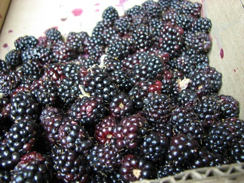 Early Marion Berries