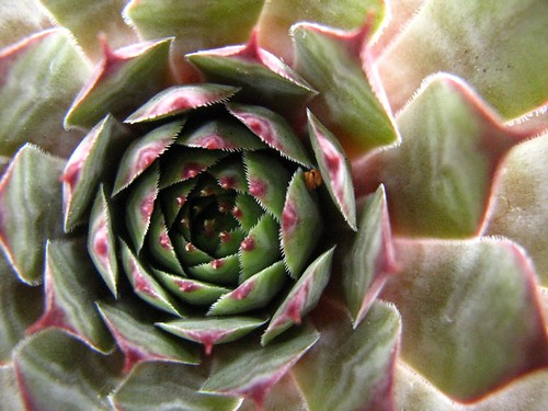 Sempervivum (Hens and Chicks)