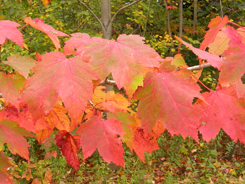 Red maple (Acer rubrum)