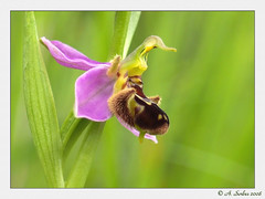 Ophrys abeille (Ophrys apifera)01