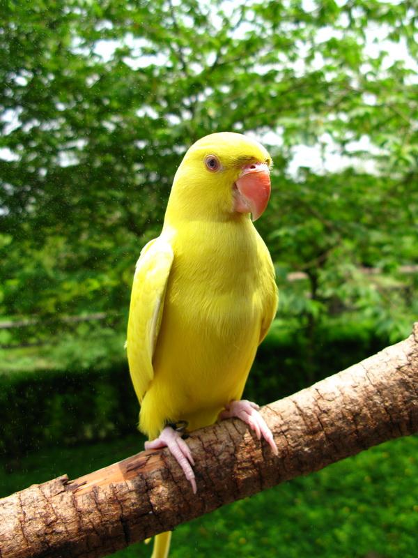 【鸚鵡·黃橫斑】黃橫斑鸚鵡 – TouPeenSeen部落格