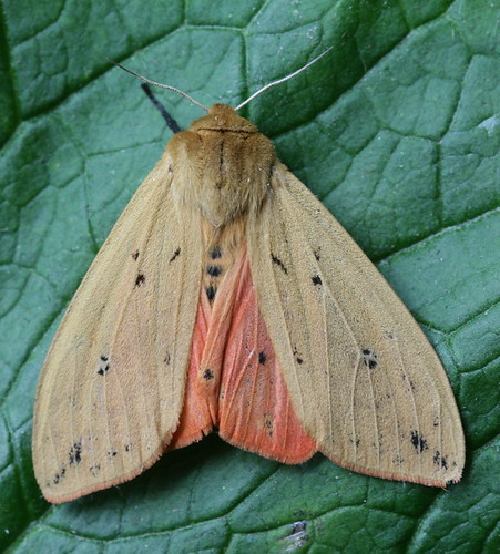 Isabella Moth (Wooly Bear Caterpillar)