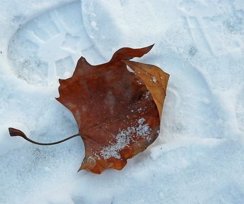 Fallen leaf 2009/5