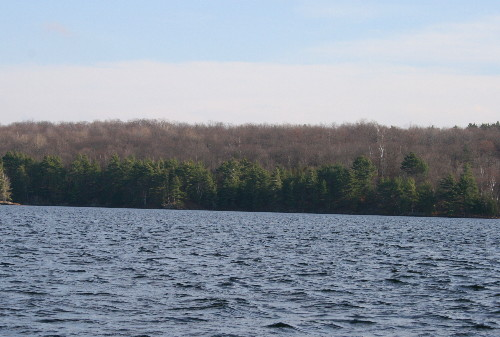 White Pines along shore