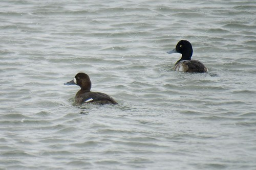 Scaup Pair