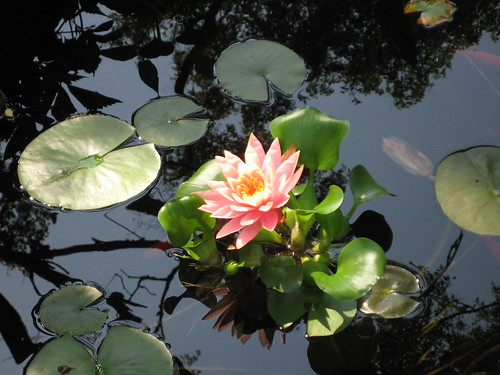 Lily and water hyacinth