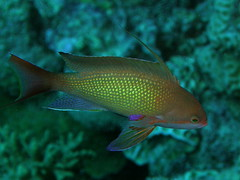 Anthias joya macho/ male lyretail anthias (Pseudanthias squamipinnis)