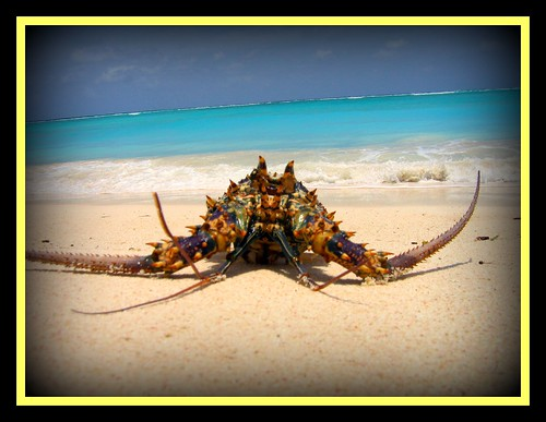 Beached Lobster
