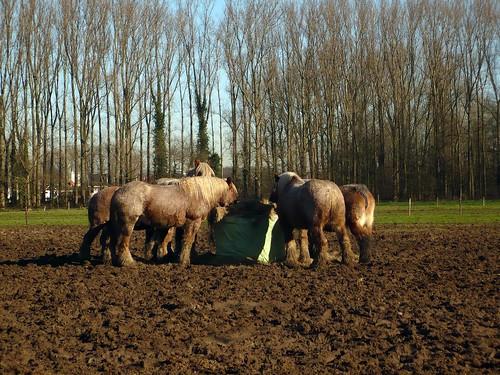 Boerepaarden aan de hooibaal