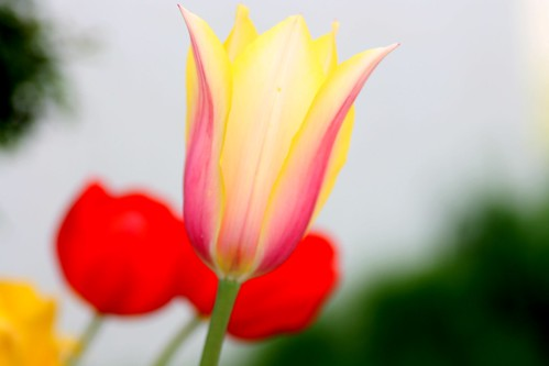 Spring colors  {Tulips} by *Megumi*