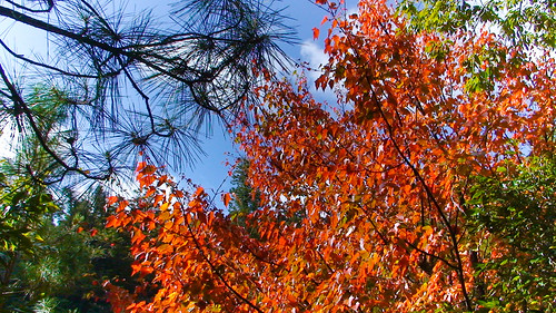 12/13 08:37 - 藍天、綠葉、與楓紅 (by steking)