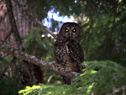 Spotted Owl (Oregon)
