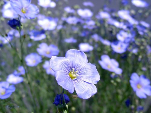 Blue Flax (Foto op Flickr van GemFireAir)