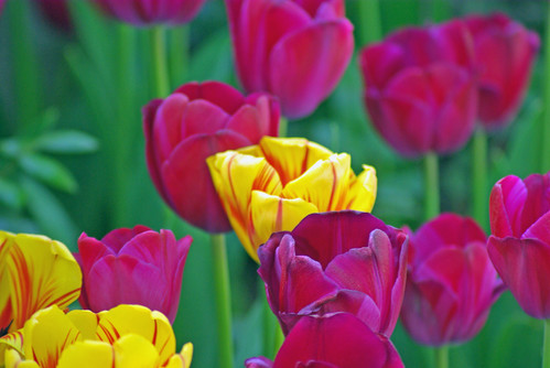 yellow tulips and red tulips from istanbul tulip festival, pentax k10d