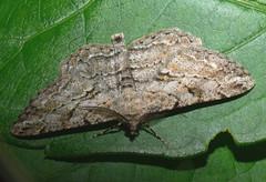 Mottled beauty moth?