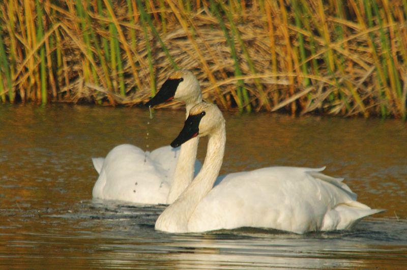 IMGP7353 a Trumpeter Swan Pair