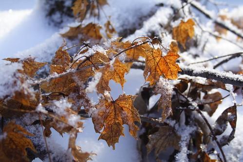 Fallen Maple Branch