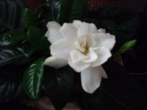 My gardenia