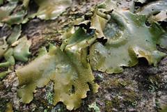 Wet lichens