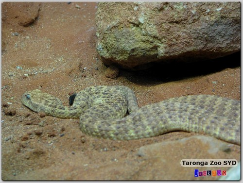 Taronga Zoo - Corn Snake