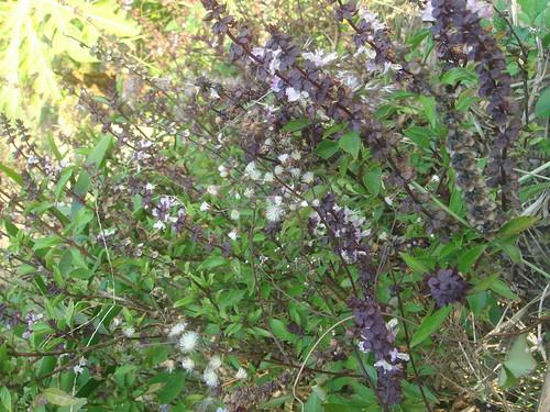 九層塔之紫色花1-2