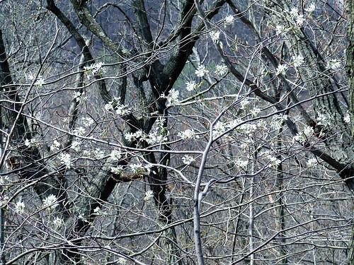 Shadbush blossoms