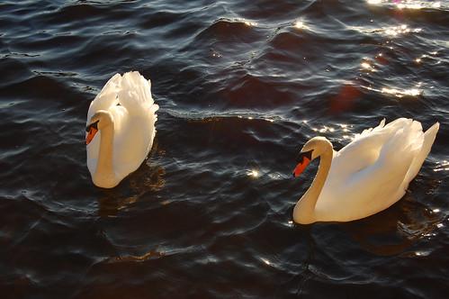 GORGEOUS swans!