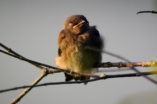 Northern Rough-winged Swallow - sleeping