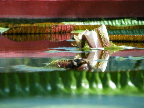 Amazon waterlily rising