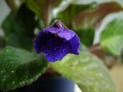 Senpolia violet
