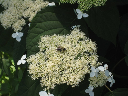 Happy bee on hydrangea
