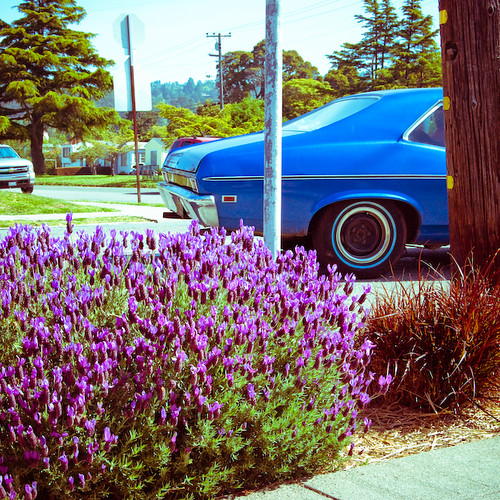 Blue Nova drives by lush lavender in Albany
