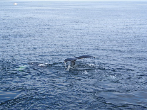 Ballena jorobada sumergiéndose / Humpback whale diving (Megaptera novaeangliae)