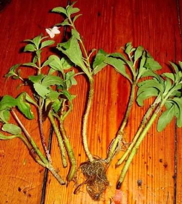Stevia cuttings after 18 days in water : bouturage de stevia après 18 jours par hardworkinghippy
