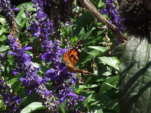 Butterfly blue flowers