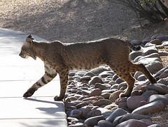 Bobcat in Tucson