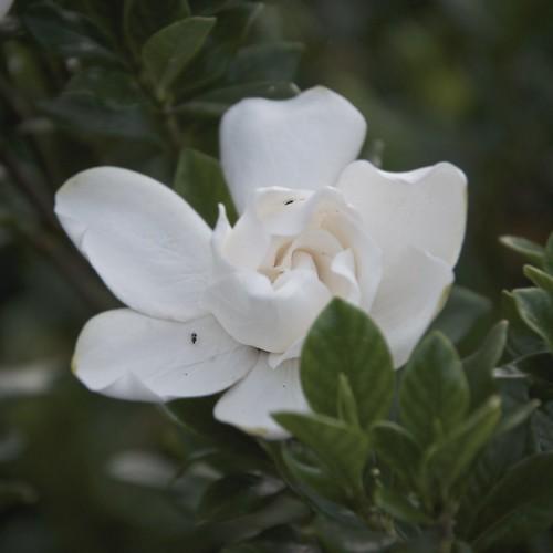 Gardenia by MatthewOsbornePhotography