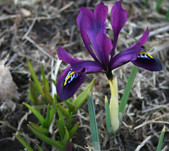 i-iris