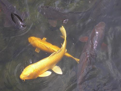 Carp, Shirotori Garden, 13th August 2008