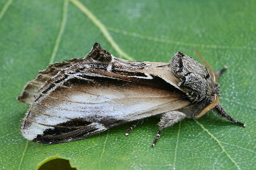 Black-rimmed Prominent