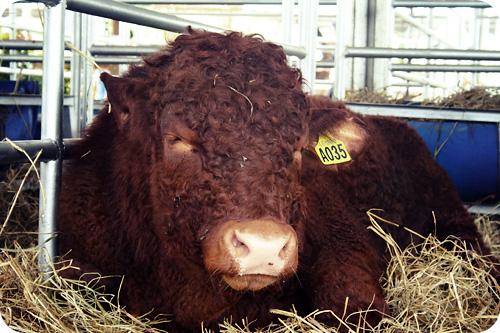 furry cow