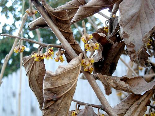 Hamamelis vernalis