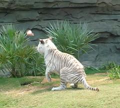 White Tiger3