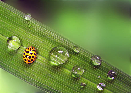 lady bug with waterdrops