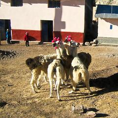 Verängstigte Lamas mit Ohrschmuck