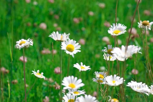 daisies9