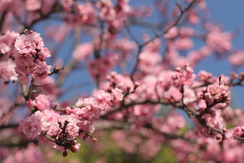 February 2: Blossoms in Berkeley