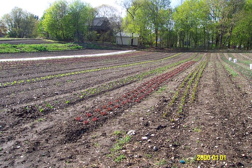 Beds of lettuce and beets May 1, 2008