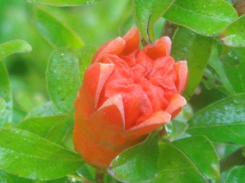 石榴花 (pomegranate)   九月天の藝享世界