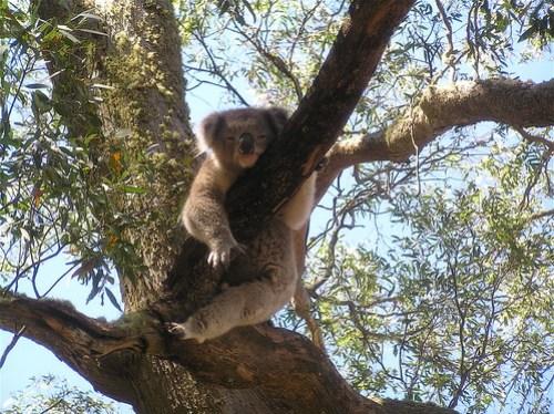 Koala at Hanging Rock